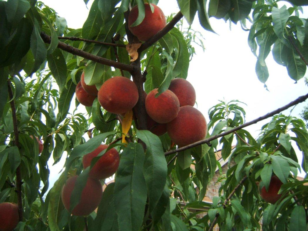 Leander TX Peaches