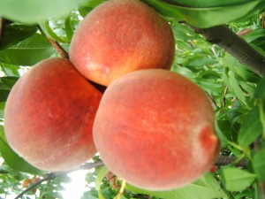 Leander Texas Peaches