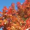 Leander Texas Red Oak